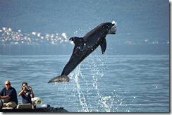 イルカが機雷を探す