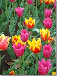 Tulips 2012 030