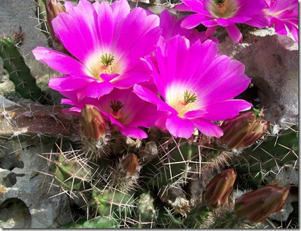 Good Friday Cactus 2012 003