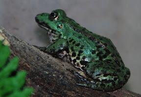 grön groda1