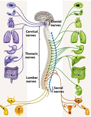 parasympathetic and symapathetic nerve