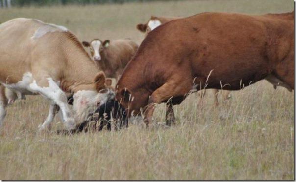 Vacas vs Urso (5)