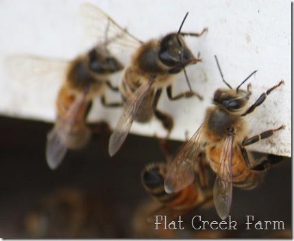 honeybees4