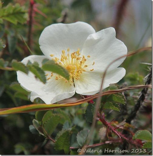 60-burnet-rose