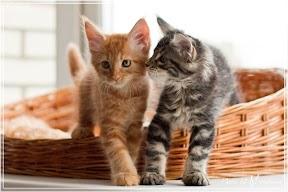 Фото история котят мейн кун в возрасте 7,5 недель 28