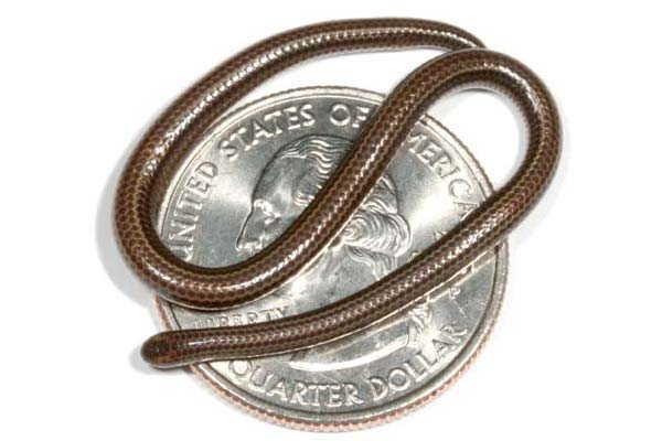 9- A menor serpente do mundo