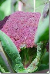 Brócolos roxos  DSC_0472DSC_048109