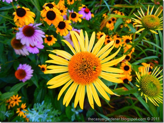 How To Grow Echinacea (Coneflower); It Is EASY!
