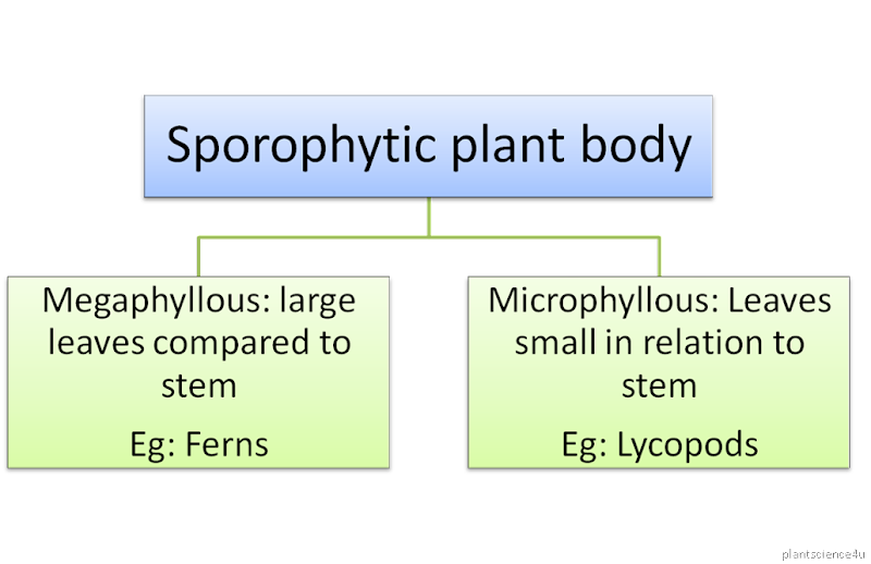 megaphyllous and microphyllous pteridophytes