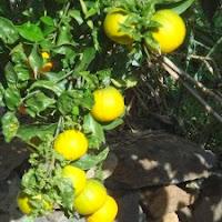 sinaasappel draagt en bloeit tegelijk. Dat doen ze allemaal en het maakt niet uit of hete winter of zomer is.