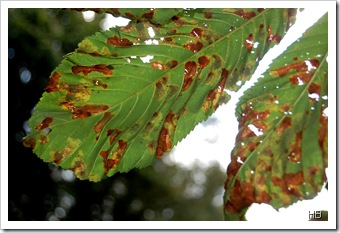 Kastanienblätter mit Miniermottenbefall (c) H. Brune