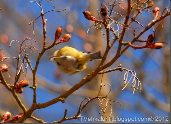 sinitiainen  lintuja 035
