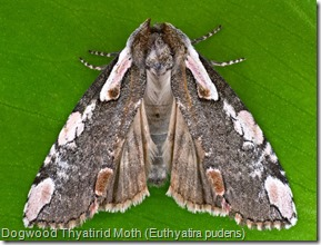 Dogwood Thyatirid Moth (Euthyatira pudens) (2)