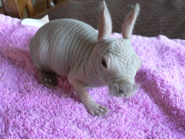 Little hairless bunny