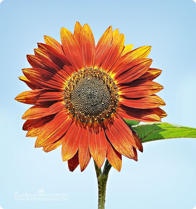 Sunflower-(1)