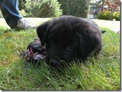 puppy 07