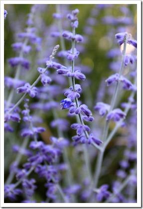 Perovskia-atriplicifolia-Little-Spires_01