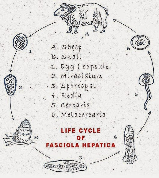 fasciola-hepatica-life-cycle