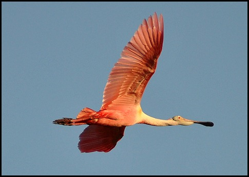 01d - Early Morning Eco Pond - Roseate Spoonbill flying overhead