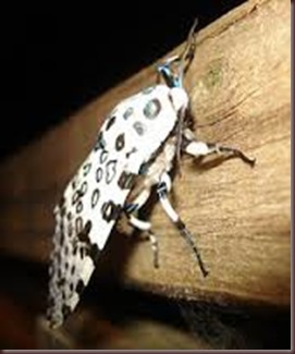 Amazing Pictures of Animals photo Nature exotic funny incredibel Zoo giant leopard moth, insect.Alex (8)