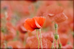 Poppy-Fields-4