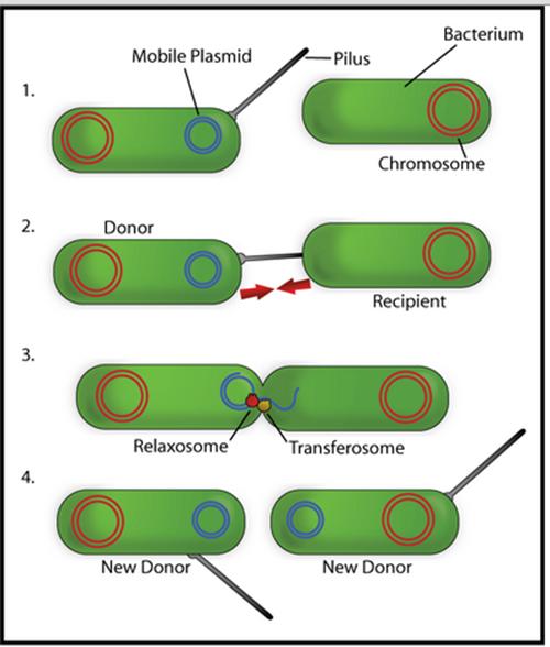 konjugasi bakteri