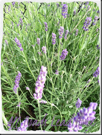 lavender for blog