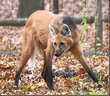 Amazing Animal Pictures The Maned Wolf (7)
