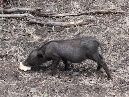Porc de Mauritius