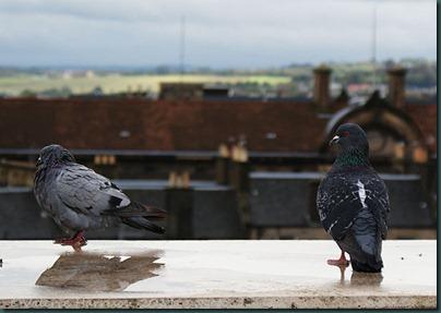 67-pigeons