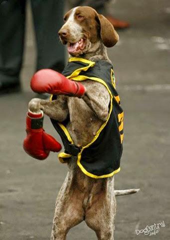 Собака в костюме боксера