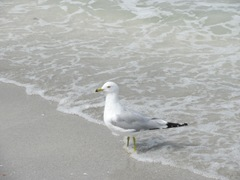 Florida Sanibel gull in water
