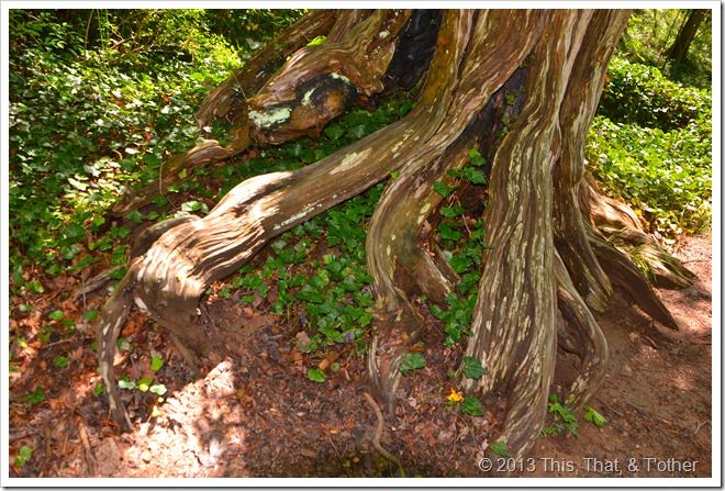 Stately tree roots