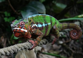 Amazing Pictures of Animals, photo, Nature, Exotic, Funny, Incredibel, Zoo, Panther chameleon, Furcifer pardalis, Reptilia, Alex (10)