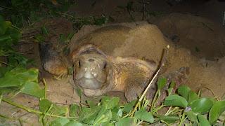 Loggerhead Turtle bei der Eiablage in Mon Repos Turtle Rookery.