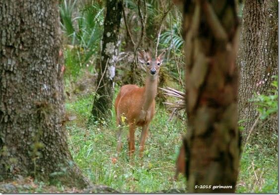 deer 078