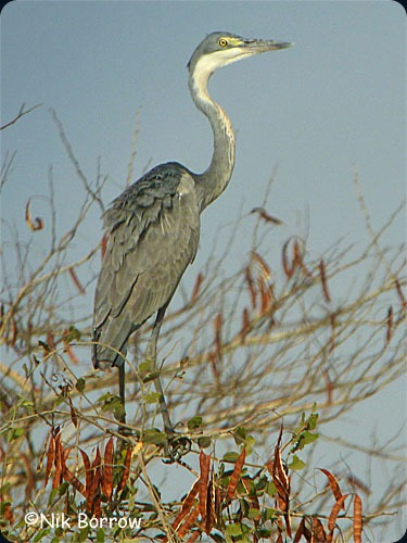 waza Black-headed Heron-Nik Borrow