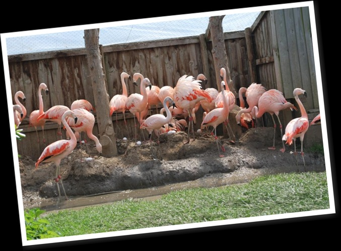 View Chilean Flamingo