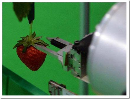 Robô coletor recolhendo morangos: robô poderia recolher dois terços dos morangos durante a noite, quando agricultores estão dormindo