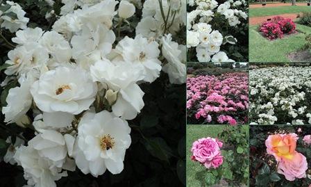 Ver Primavera en el Rosedal del Parque 3 de Febrero - nAbum 2