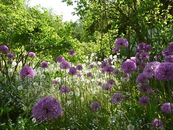 026 korr Allium aflatunense Daniel Grankvist