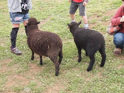 [写真]柵から出てきて餌をねだる子羊たち
