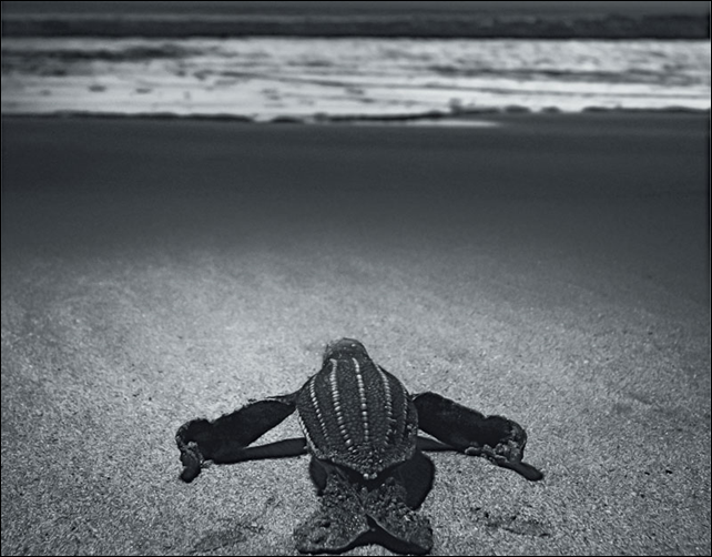 An endangered leatherback hatchling makes its way toward the waves, on Playa Moín, a 15-mile-long strand of mangrove and palm on Costa Rica's Caribbean coast. Poachers are willing to murder environmentalists who try to protect leatherback turtle eggs. Photo: Jason Bradley
