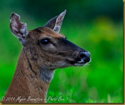 b White-tailed Deer cu headD7K_1219 July 26, 2011 NIKON D7000