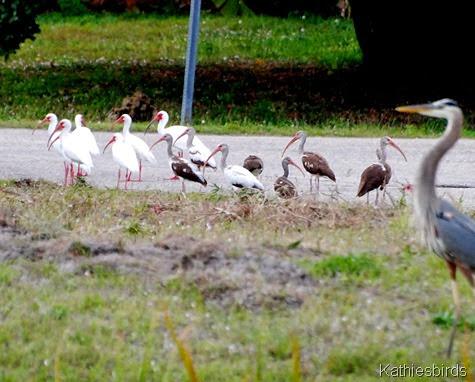 8. White ibis-kab