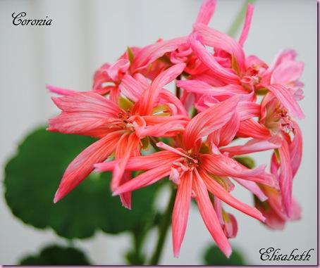 pelargonium i mai 2011 050