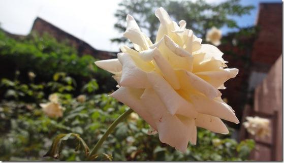 flor-flores-rosas-imagens200