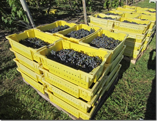Lugs of St. Croix grapes waiting to be transported to winery