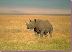 black_rhino_02