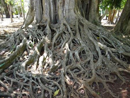 Obiective turistice Mauritius: Banyan tree